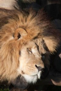lion at melbourne zoo