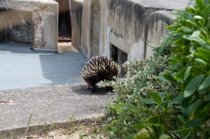 echidna at fort pearce