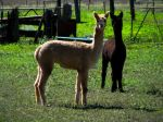 Alpacas at Andonbel alpaca farm and cafe, Narromine