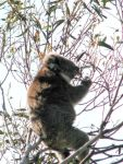 Koala at Camels Hump, Mt Macedon