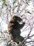 Koala at Camels Hump, Mt Macedon